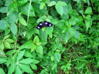 Blue dotted Butterfly