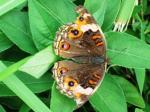 Brown Junonia