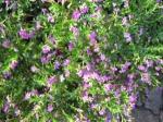 bunga-kecil-ungu-untuk-border-taman