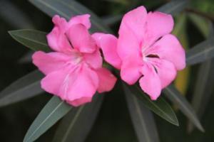 bunga-kenyiri-kenyeri-mentega-oleander1