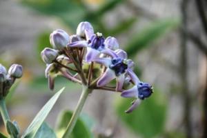 bunga-medori-widuri-di-pantai-sanur