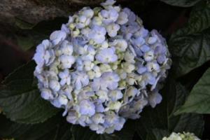 bunga-pecah-seribu-hydrangea