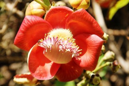 bunga-sala