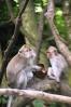 Dua ekor monyet di Monkey Forest Ubud