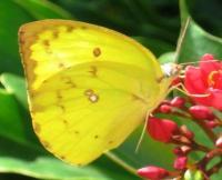 Full Yellow Buttterfly1