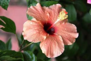 hibiscus-peach