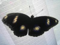 Hypolimnas