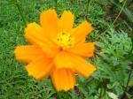 Kenikir Jingga Bunga Dobel