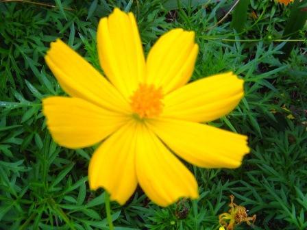 kenikir-kuning-bunga-tunggal