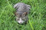 Kucing liar di rumput
