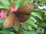 Kupu-kupu coklat bintik