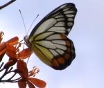 Kupu kupu garis hitam kuning merah