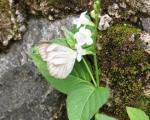 Kupu kupu garis putih kecil