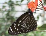 Kupu kupu hitam garis sedang