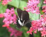 Kupu kupu Papilio Hitam Putih