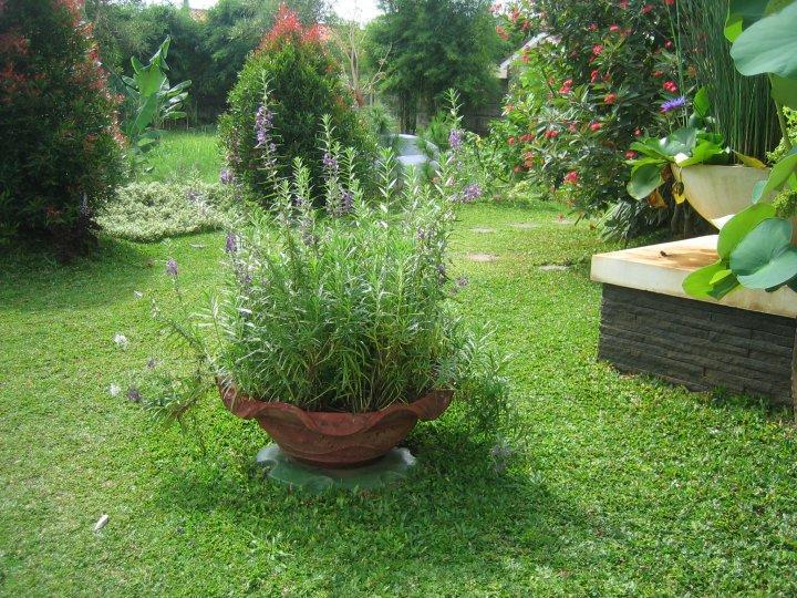 Lavender dalam pot