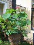 Lotus dalam pot