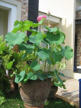Bali garden lotus si bunga padma nimadesriandani for Lotus plant for sale