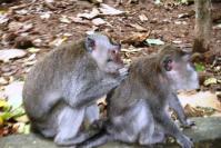 Monyet Mencari Kutu