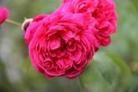 Old Garden Rose