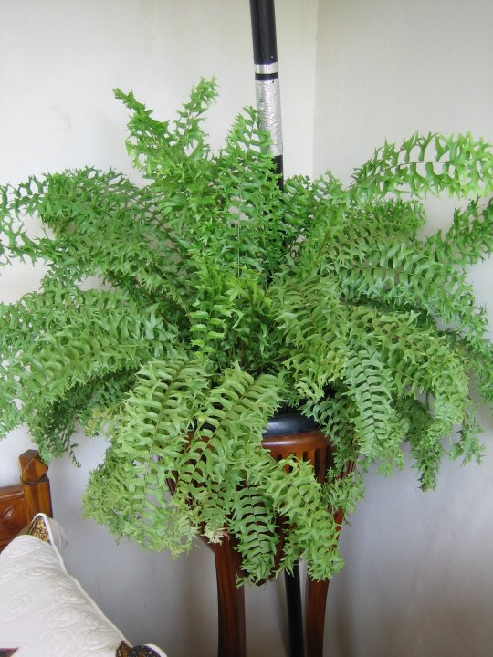 FERN...the most beautiful leaves ever.. (4/6)