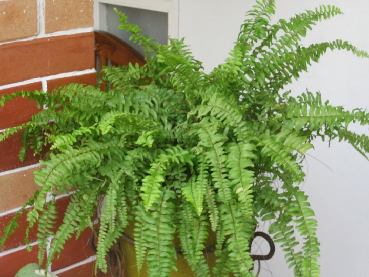 FERN...the most beautiful leaves ever.. (2/6)
