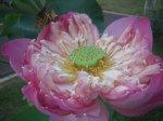 Pink Lotus kelopak banyak