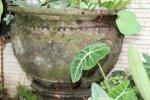 Pot Lotus