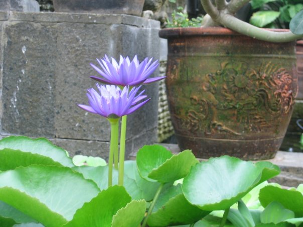 Blue Water Lily, the sacred flower.  (5/6)