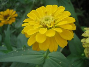 zinnia-yellow