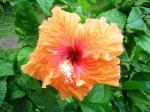 Andani -Hibiscus Jingga1