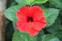 Andani- Red Hibiscus1
