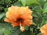 Kembang Sepatu Orange