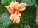 Kembang Sepatu Peach Bunga Tumpang