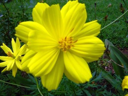 Cosmos.. Bunga Kenikir Yang Mencerahkan Hari (4/4)