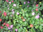 Rumpun Bunga Pacar Air (Impatiens) warna warni