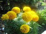 Bunga Mitir Kuning