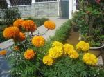 Bunga Mitir or Marigold