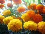 Bunga Mitir