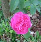 Rose- Old garden Pink