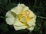 Rose - Yellow