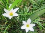 Zepiranthes Putih