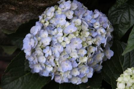 Hydrangea Biru (Bunga Pecah Seribu)