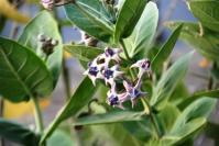 Bunga Widuri alias Medori (Calotropis gigantea)