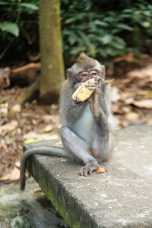 Gambar Monyet Bawa Pisang Liburan Jalan Jalan Ke Monkey Forest Ubud Nimadesriandani