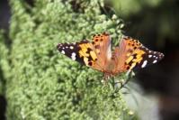 Australian Painted Lady Butterly (Kupu-kupu Putri)