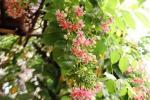 Bunga Melati Belanda