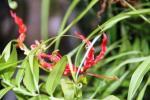 Gloriosa suoerba (Bunga Sungsang)