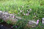 Hamparan Lahan Penuh Bunga Morning Glory Liar