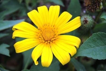 52+ Gambar Bunga Matahari Beserta Bagiannya Paling Mekar
